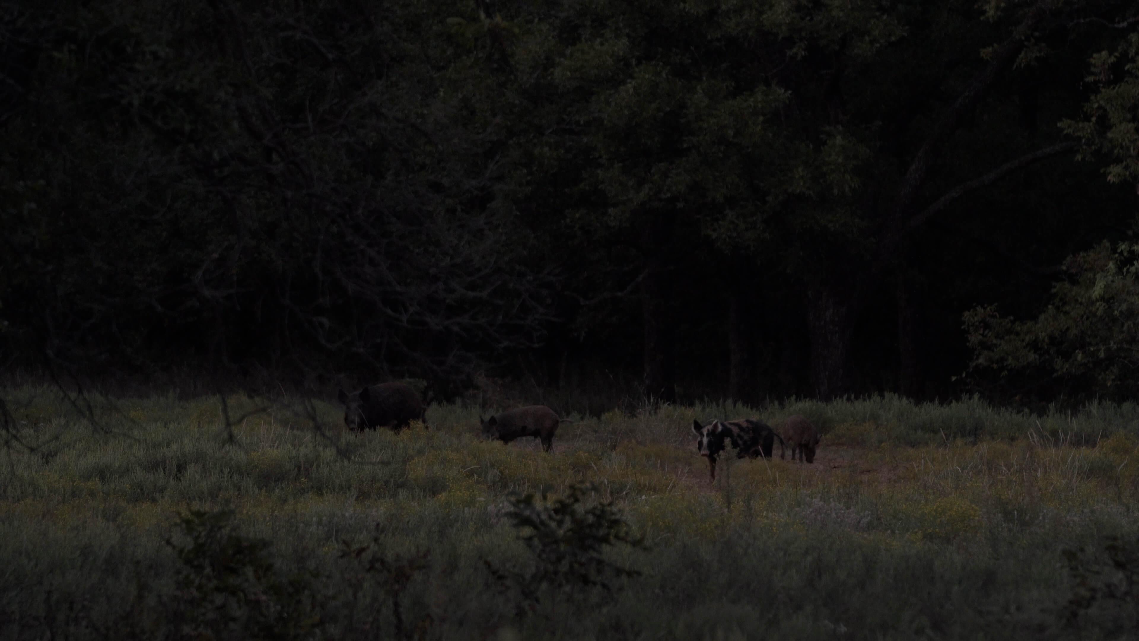 Feral hogs on local farmland.